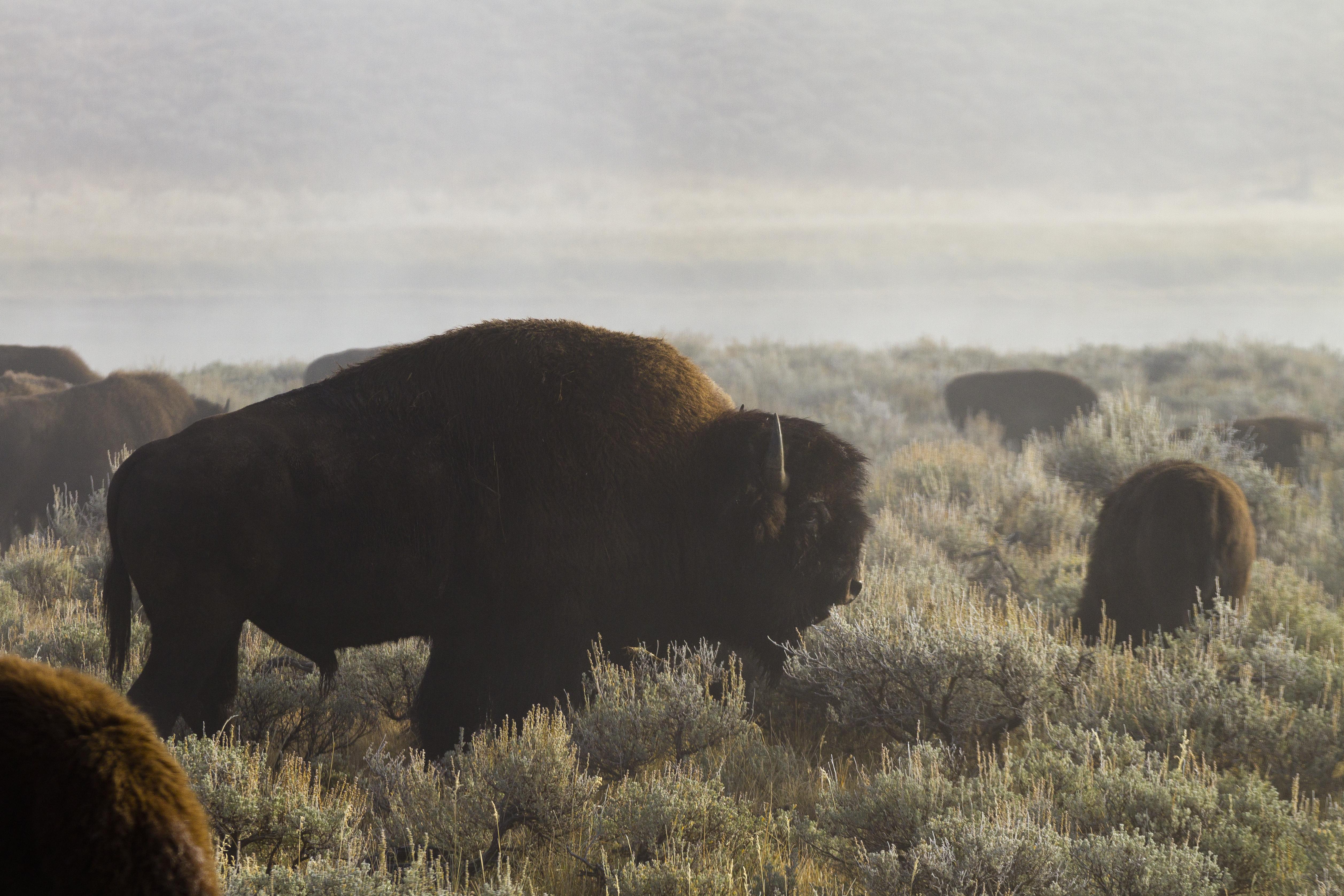 Bison, Yellowstone NP, USA