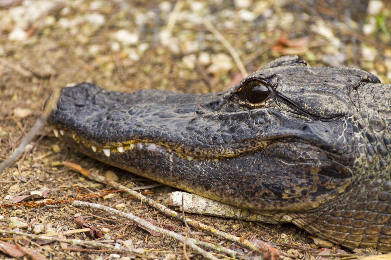 Aligator, Everglades, USA