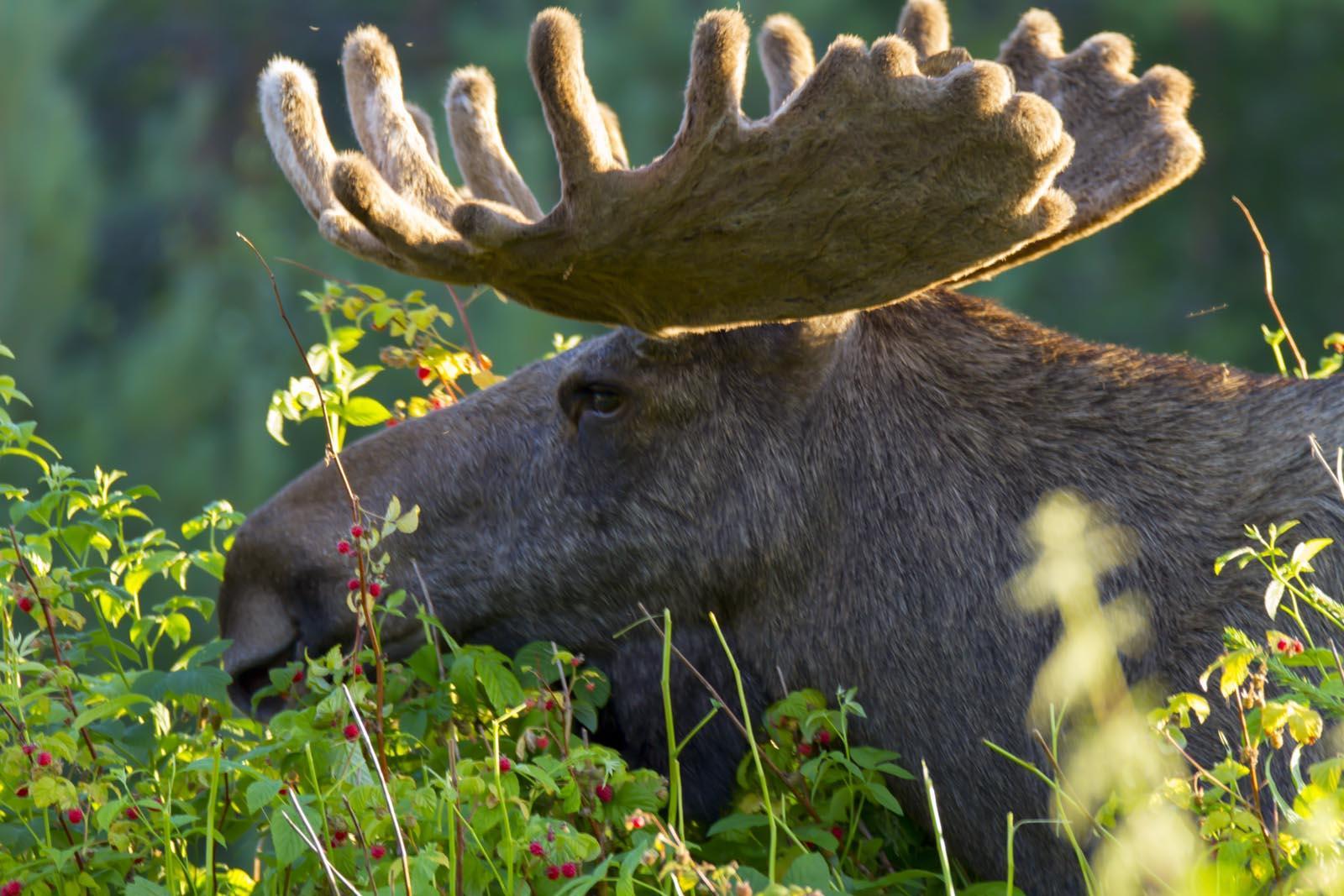 Eland, Zweden